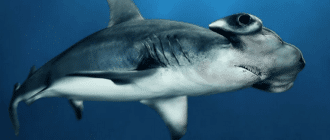 Большая акула-молот