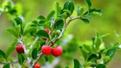 Ацерола ( Барбадосская вишня)